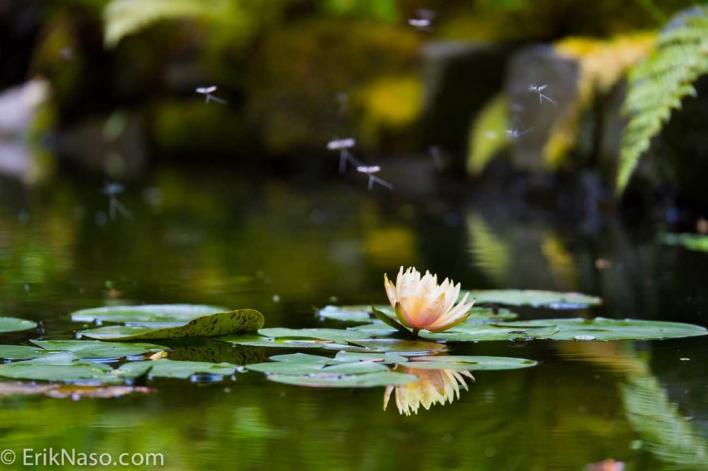Flower in Pond